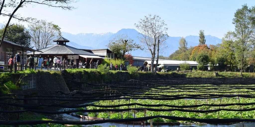 Japanese Wasabi Farm