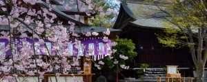 Cherry Blossoms in Matsumoto