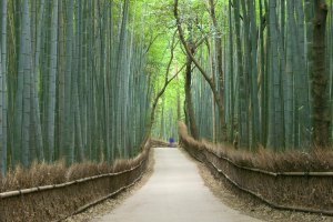 kyoto bamboo forest 750x500
